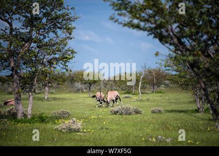 Two young Gemsbok / oryx (Oryx gazella) bulls play-fighting. Etosha National Park, Namibia, March. Non-ex. - Stock Photo