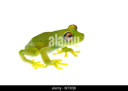 Demerara Falls tree frog (Hypsiboas cinerascens), Kanuku Mountains, Guyana, July. Meetyourneighbours.net project. - Stock Photo