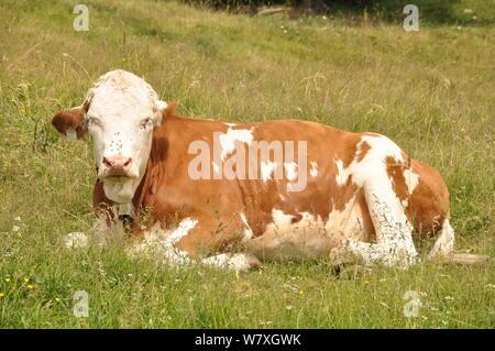 Brown and White Austrian Alpine Cow relaxing on the grass in the summer sunshine on the Kitzbuheler Horn, Kitzbuhel, Tyrol, Austria - Stock Photo