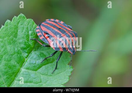 Shield bug (Graphosoma italicum) Peerdsbos, Brasschaat, Belgium, May. - Stock Photo