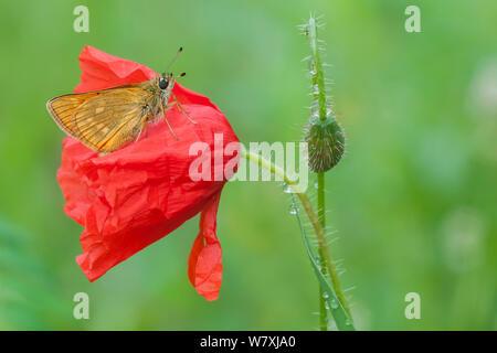 Large skipper (Ochlodes venatus) on Poppy (Papaver rhoeas) Peerdsbos, Brasschaat, Belgium, July. - Stock Photo