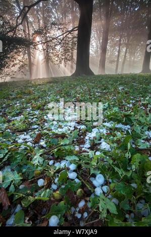 Rays of sunlight through mixed Beech (Fagus sp) / Oak (Quercus sp) forest after heavy downpour of hail, Peerdsbos, Brasschaat, Belgium, June 2014. - Stock Photo