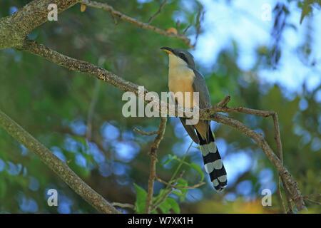 Mangrove cuckoo (Coccyzus minor) perched, Trinidad and Tobago. - Stock Photo