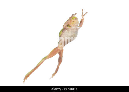 European tree frog (Hyla arborea) female leaping, France, April. Meetyourneighbours.net project - Stock Photo