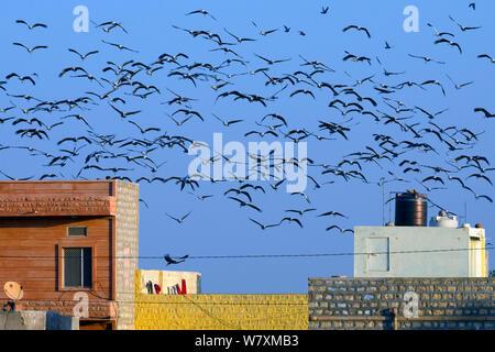 Demoiselle crane (Anthropoides virgo) flock flying over village, Rajasthan, India, February 2012. - Stock Photo