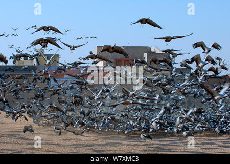 Demoiselle Crane (Anthropoides virgo), these migrant birds are considered holy and are being fed by villagers, Rajasthan, India, February 2012. - Stock Photo