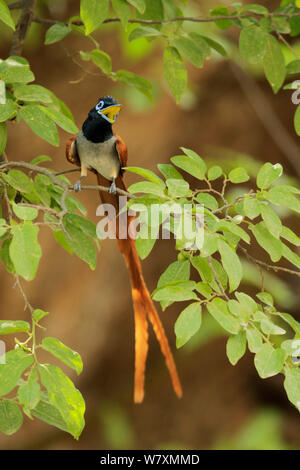 Asian paradise-flycatcher (Terpsiphone paradisi) calling from branch. Ranthambore National Park, India. - Stock Photo