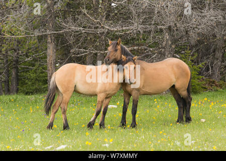 Wild horse (Equus ferus) mare and yearling. The yearling has leg bars or 'tiger stripes', a primitive marking indicating ties to earliest mustangs brought to the USA by the Spanish. Pryor Mountains, Montana, USA, June. - Stock Photo