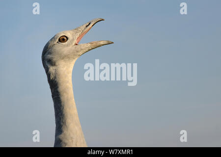 Close up of an adult male Great Bustard (Otis tarda) calling. Part of reintroduction project of birds from Russia, Salisbury Plain, Wiltshire, UK, September. - Stock Photo