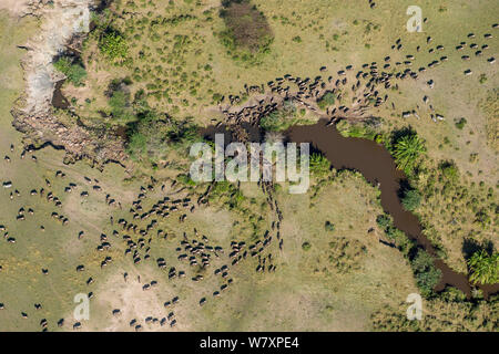 Aerial view of Wildebeest (Connochaetes taurinus) herd migrating. Masai-Mara game reserve, Kenya. - Stock Photo