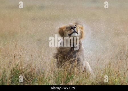 Lion (Panthera leo) male shaking water off after rain, Masai-Mara game reserve, Kenya. - Stock Photo