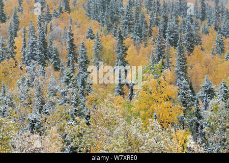Quaking aspen trees (Populus tremuloides) and conifers with dusting of snow, Dome Hill above Dawson City, Yukon Territories, Canada, September 2013. - Stock Photo