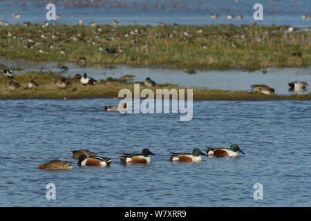 Group of Northern shoveler (Anas clypeata) swimming on flooded pasture land with Wigeon (Anser penelope) and Lapwings (Vanellus vanellus) in the background, Gloucestershire, UK, January. - Stock Photo
