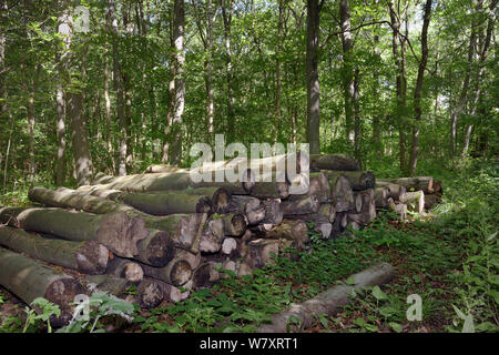 Timber in deciduous ancient woodland, managed by coppicing, with a mix of Beech (Fagus sylvatica), Silver birch (Betula pendula) and Hazel (Corylus avellana), chosen for Dormouse reintroduction, Nottinghamshire, UK, June. - Stock Photo