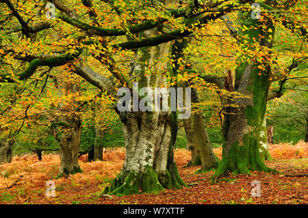 Mature Beech (Fagus sylvatica) trees in Mark Ash Wood, New Forest, Hampshire, UK, November. - Stock Photo