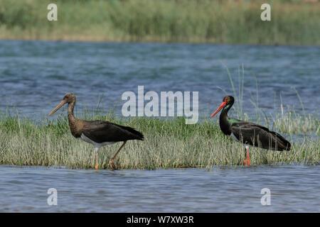 Black stork (Ciconia nigra) adult and immature, Oman, February - Stock Photo