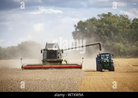 Buckingham, UK - August 19, 2014. Combine harvester and tractor harvest wheat in a field in English countryside - Stock Photo