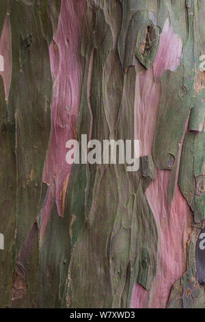 Bark of ancient Yew tree (Taxus baccata) Kingley Vale National Nature Reserve, Sussex, England, March. - Stock Photo