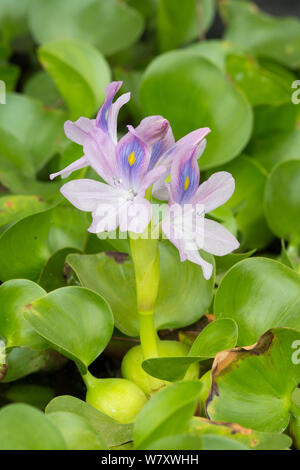 Water hyacinth (Eichhornia crassipes) cultivated, occurs in South America. - Stock Photo