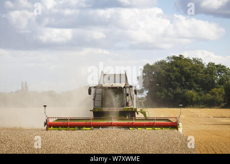 Buckingham, UK - August 19, 2014. Combine harvester harvests wheat in a field in English countryside - Stock Photo