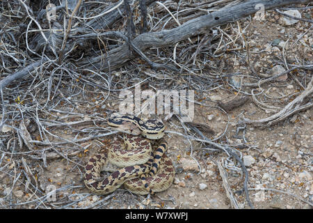 Great Basin Gopher Snake (Pituophis catenifer deserticola) Joshua Tree National Park, California, USA, May. - Stock Photo