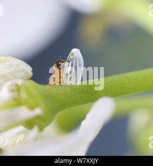 Orange-tip butterfly (Anthocharis cardamines) caterpillar feeding on egg shell. Surrey, England, May. - Stock Photo