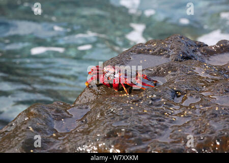 Red rock crab (Grapsus adscensionis) on rock, La Palma, Canary Islands. - Stock Photo