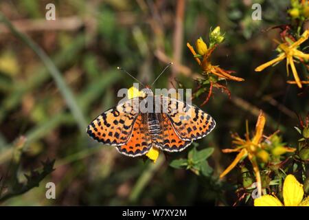 Spotted fritillary butterfly (Melitaea didyma) Bulgaria, July. - Stock Photo