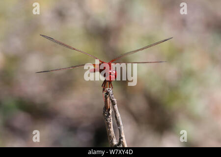 Scarlet darter dragonfly (Crocothemis erythraea) Bulgaria, July. - Stock Photo