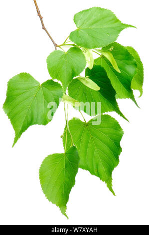 Large-leaved Lime (Tilia platyphyllos) in flower, Slovenia, Europe, May. meetyourneighbours.net project - Stock Photo