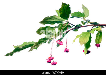 Large-leaved Spindle (Euonymus latifolius) with seeds, Slovenia, Europe, August. meetyourneighbours.net project - Stock Photo