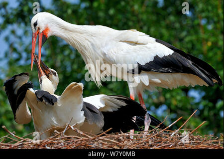 White stork (Ciconia ciconia) regurgitating food to chicks in nest,  Alsace, France. July. - Stock Photo