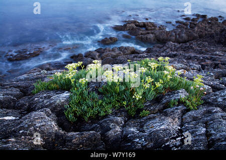 Rock samphire (Crithmum maritimum) on coast, Morbihan, Brittany, France, August 2006. - Stock Photo