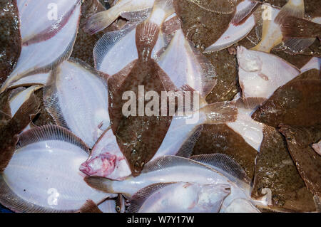 Bycatch of Yellowtail flounders (Limanda ferruginea) on deck of fishing dragger. Stellwagen Banks, New England, United States, North Atlantic Ocean, March 2009. - Stock Photo