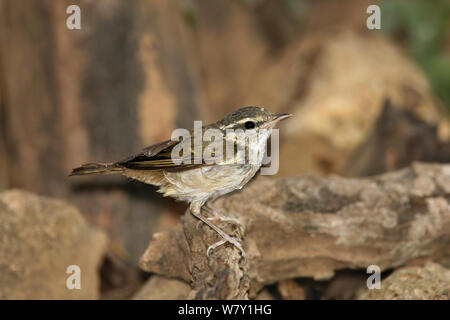 Pale legged leaf warbler (Phylloscopus tenellipes) perched after bathing, Thailand, February. - Stock Photo