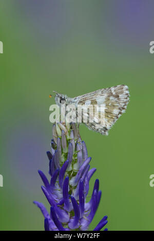 Olive Skipper butterfly (Pyrgus serratulae) on flower, Mercantour National Park, Provence, France, June. - Stock Photo