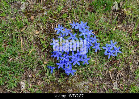 Spring Gentian (Gentiana verna) in flower, Col du Lombardie, Mercantour National Park, Provence, France, June. - Stock Photo
