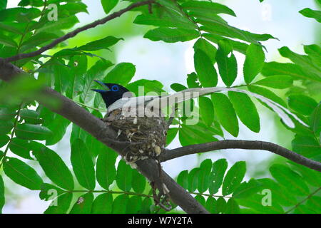Asian paradise-flycatcher (Terpsiphone paradisi) male on nest, Shanyang town, Gutian County, Hubei province, China. - Stock Photo