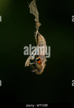 Small tortoishell butterfly (Aglais urticae) adult emerging from chrysalis, Sheffield, England, UK, August. Sequence 8 of 22. - Stock Photo