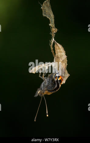 Small tortoishell butterfly (Aglais urticae) adult emerging from chrysalis, Sheffield, England, UK, August. Sequence 14 of 22. - Stock Photo