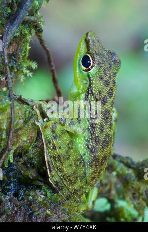Black-spotted rock frog (Staurois natator) camouflaged amongst moss. Maliau Basin, Sabah, Borneo. - Stock Photo