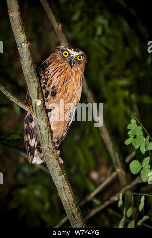 Buffy fish owl (Ketupa ketupa) perched in tree at night. Danum Valley, Sabah, Borneo. - Stock Photo