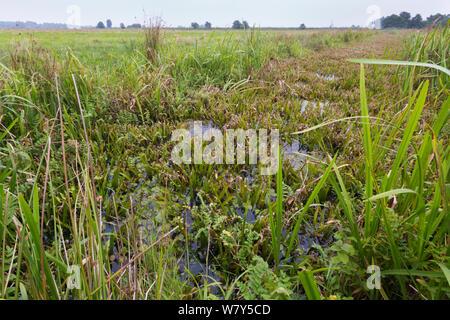 Habitat of the Fen raft spider / Great raft spider (Dolomedes plantarius) Norfolk Broads, UK, September. - Stock Photo