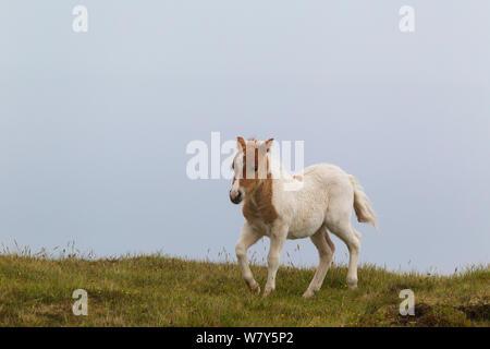 Shetland pony (Equus ferus caballus) foal running around playfully. Foula, Shetland islands, United Kingdom. June. - Stock Photo