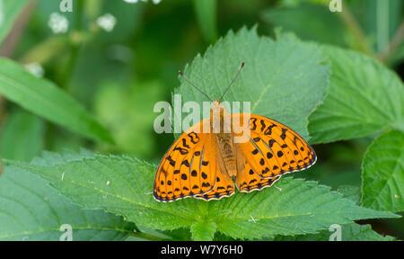 High brown fritillary butterfly (Fabriciana adippe) newly emerged male, Pernaja, Ita-Uusimaa / Eastern Uusimaa, Etela-Suomi / South Finland, Finland. June - Stock Photo