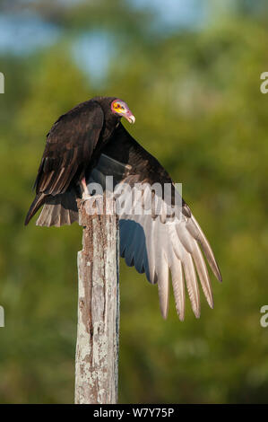 Lesser yellow-headed vulture (Cathartes burrovianus ) stretching wings, Ibera Marshes, Corrientes Province, Argentina. - Stock Photo