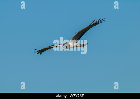 Long-winged harrier (Circus Buffoni) in flight, Ibera Marshes, Corrientes Province, Argentina - Stock Photo