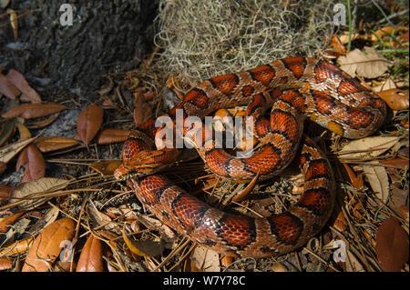 Corn snake / Red rat snake (Elaphe guttata) Little St Simon's Island, Barrier Islands, Georgia, USA, April. Captive, occurs in North America. - Stock Photo