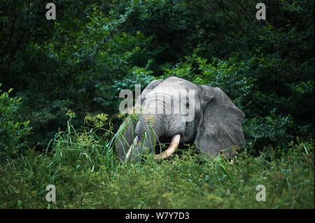 African forest elephant (Loxodonta cyclotis) feeding. Lekoli River, Republic of Congo (Congo-Brazzaville), Africa. Vulnerable species. - Stock Photo