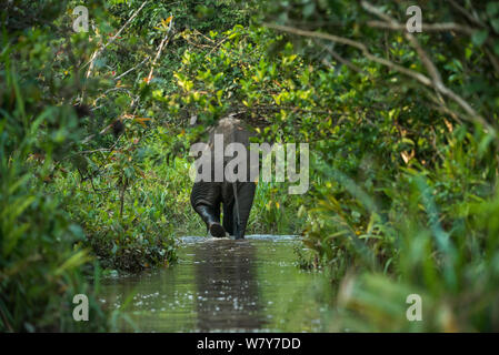 African forest elephant (Loxodonta cyclotis) Lekoli River, Republic of Congo (Congo-Brazzaville), Africa. Vulnerable species. - Stock Photo